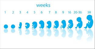 pregnancy-week-by-week
